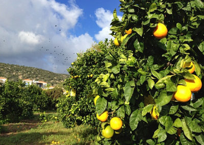 seminarreise-zypern-hotel-aphrodite-zitronenbaum